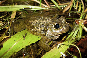 Great Basin Spadefoot