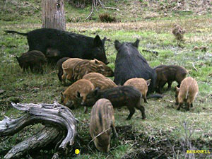 Feral Swine or Wild Boar