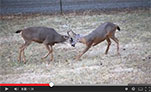 Black-tailed deer bucks sparring