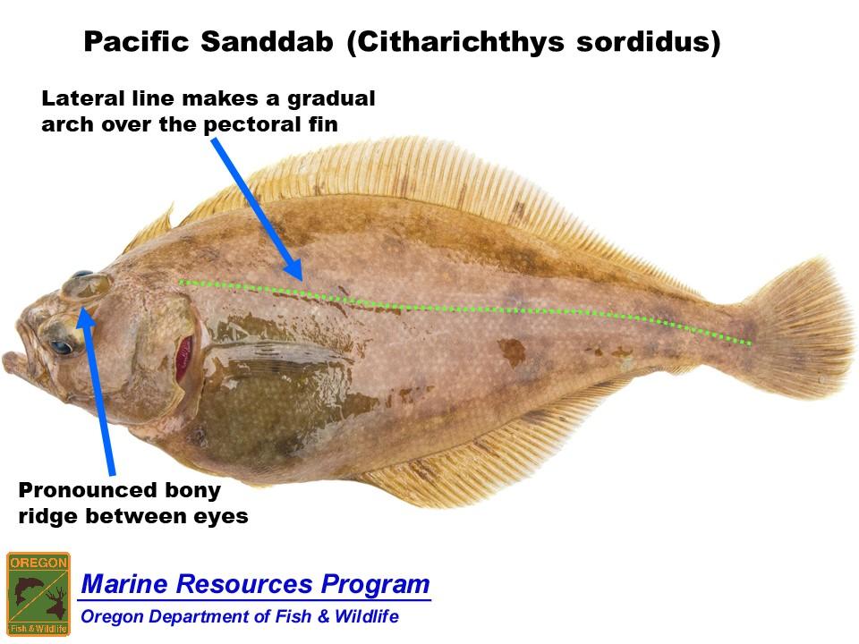 Odfw Finfish Species Flatfish Olive flounder in anderen sprachen: odfw finfish species flatfish
