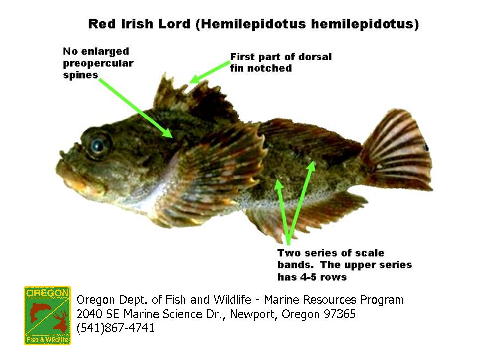 Odfw finfish species other for Irish lord fish