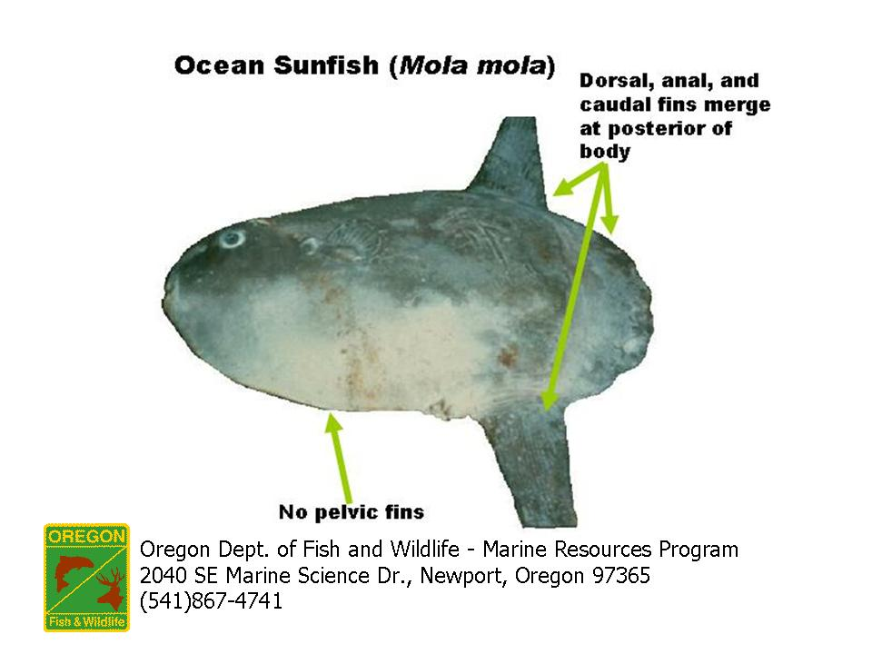 Ocean sunfish mola mola fish by scott62 on 1324858699 for Mola mola fish
