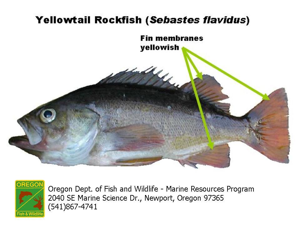 ODFW Finfish Species - Rockfish