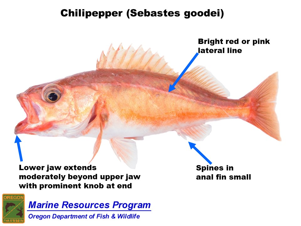 Only species allowed in the longleader 10-fish bag limit are: yellowtail,  widow, canary, redstriped, greenstriped, ...