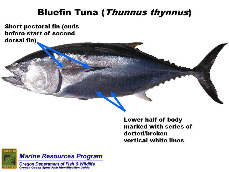 Game coincidences juego coincidencias for Does tuna fish have scales