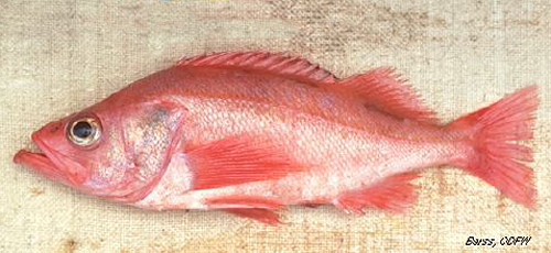 Odfw finfish species rockfish for Ocean perch fish