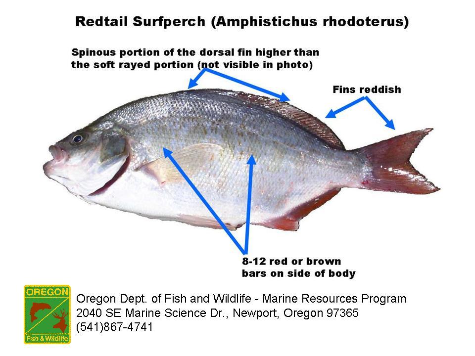 Odfw marine sport fish id surfperch surfperch amphistichus sciox Gallery