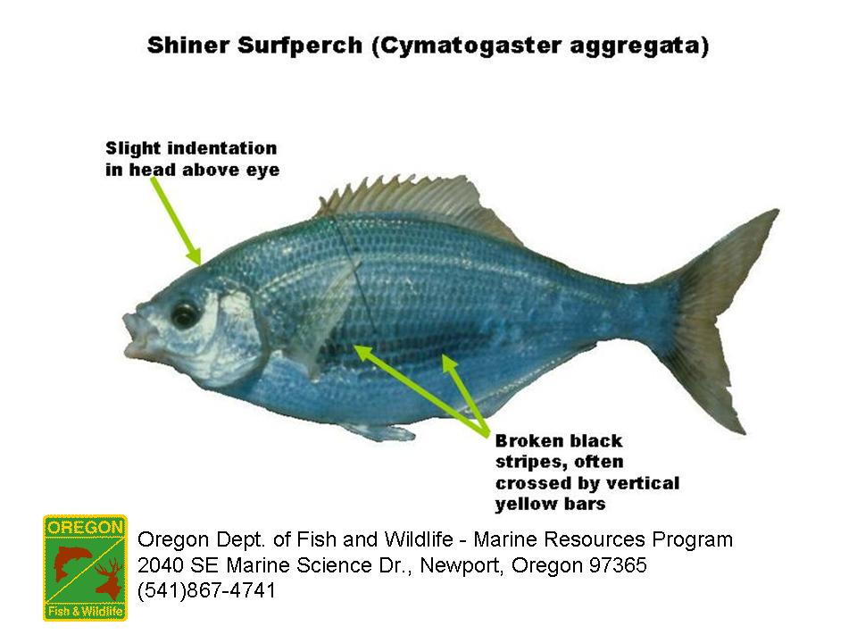 ODFW Marine Sport Fish ID - Surfperch