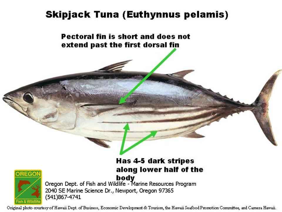 Odfw marine sport fish id species list skipjack tuna euthynnus pelamis sciox Gallery