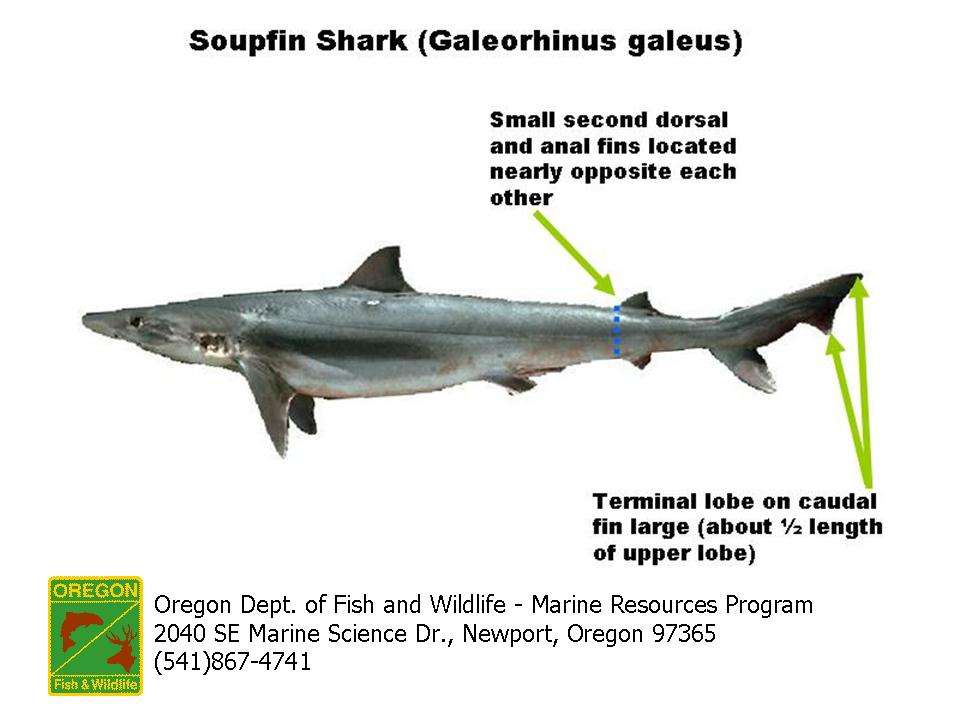 ODFW Marine Sport Fish ID - Sharks, Rays, and Skates