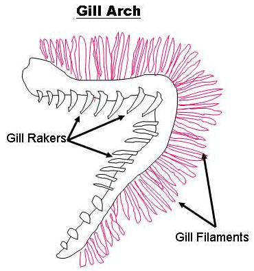 Gill Structure Diagram