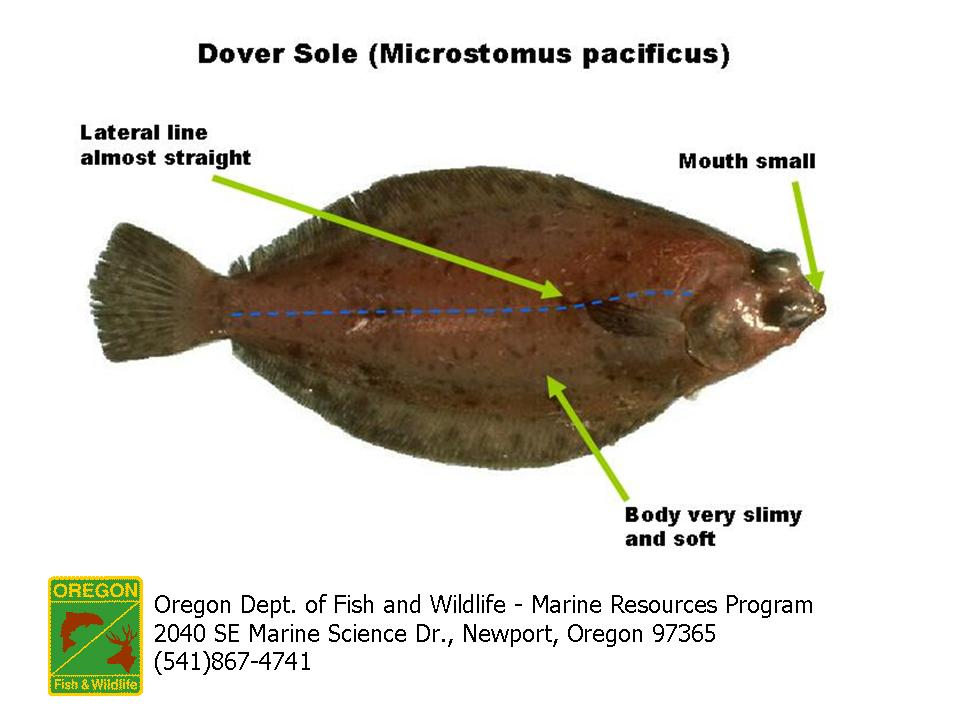 Odfw finfish species flatfish for Dover sole fish
