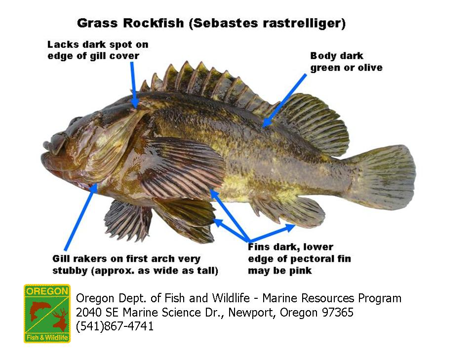 Odfw finfish species rockfish for Rock cod fish