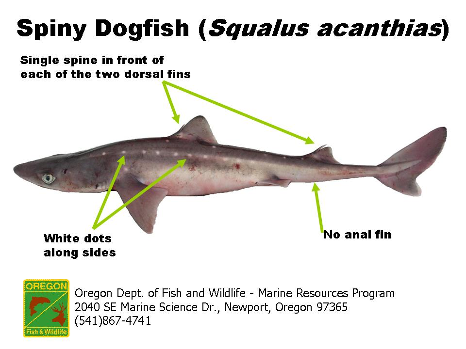 "shark and spiny dogfish Us wild-caught pacific spiny dogfish is a smart seafood choice because it is sustainably managed and responsibly harvested under us regulations according to the 2011 stock assessment, pacific spiny dogfish on the west coast are not overfished, and the complex (""other fish complex"") they are."