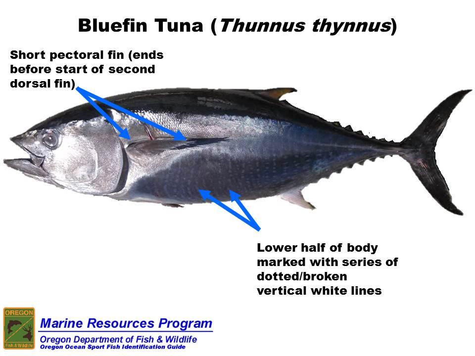 Odfw marine sport fish id species list bluefin tuna thunnus thynnus sciox Gallery