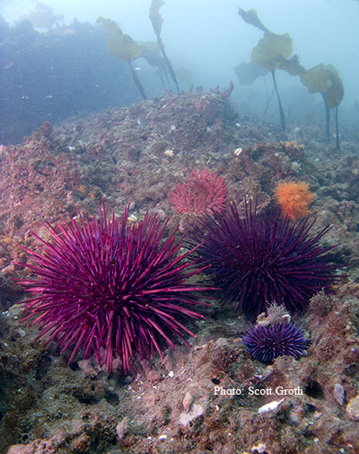 odfw sea urchin biology