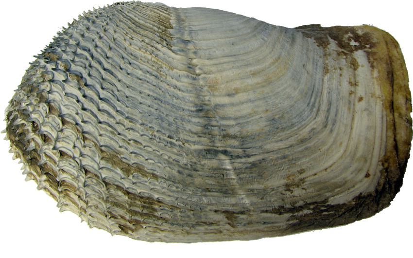 Piddock Clam Related Keywords & Suggestions - Piddock Clam Long Tail ...