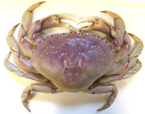 Image result for dungeness crab images