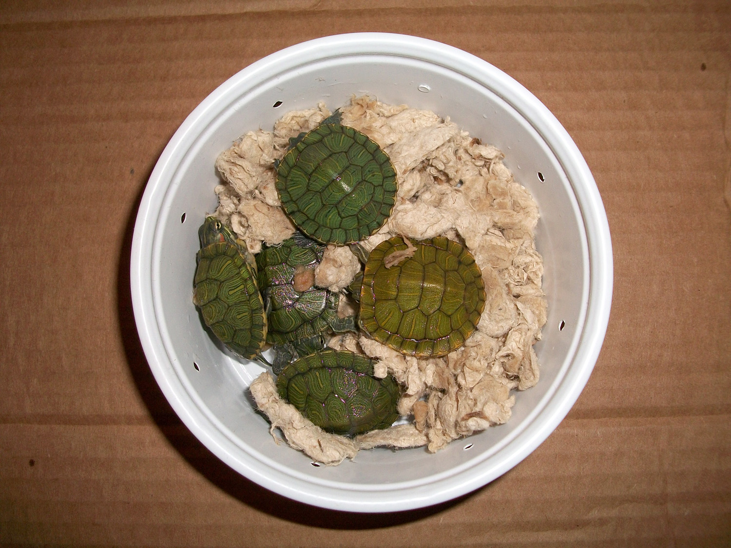 Hatchling turtles