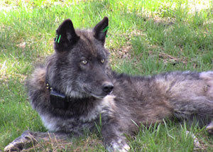 Imnaha pack alpha male