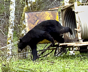 Bear release