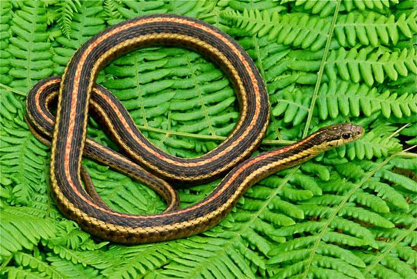 NW Garter Snake
