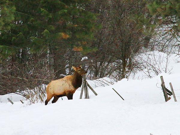 elk missing antlers