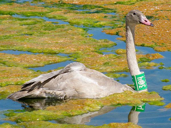 trupeter swan