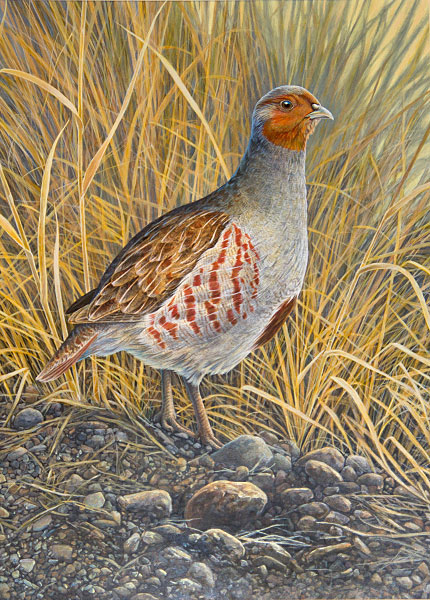 Gray (Hungarian) Partridge
