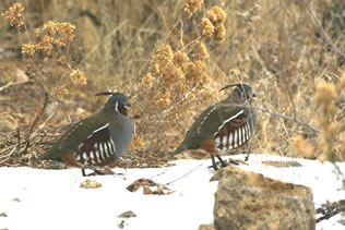 Two Adult Quails