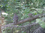 Two Spruce Grouse