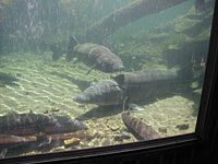 Odfw visitor 39 s guide bandon hatchery for Bonneville fish hatchery
