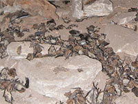 Bats killed by WNS