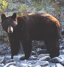 Odfw Living With Wildlife Black Bears